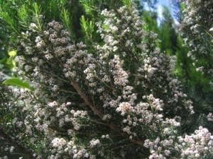 Funda Yaprağı-Piren-Süpürgeotu
