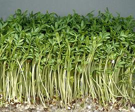 su teresi-Lepidum sativum