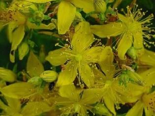 Sari-kantaron-Hypericum-perforatum