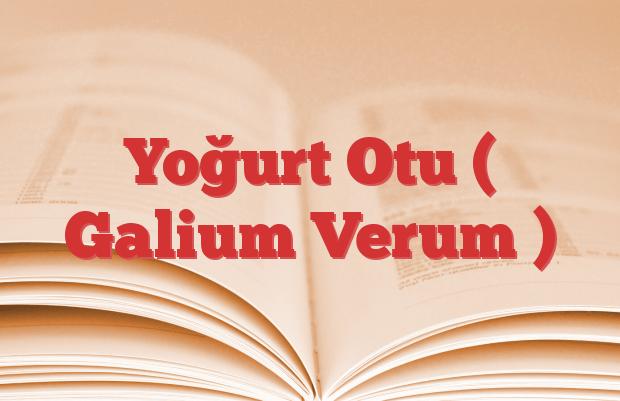 Yoğurt Otu ( Galium Verum )