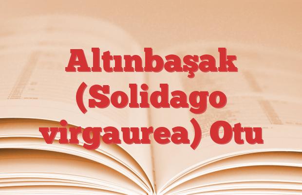 Altınbaşak (Solidago virgaurea) Otu